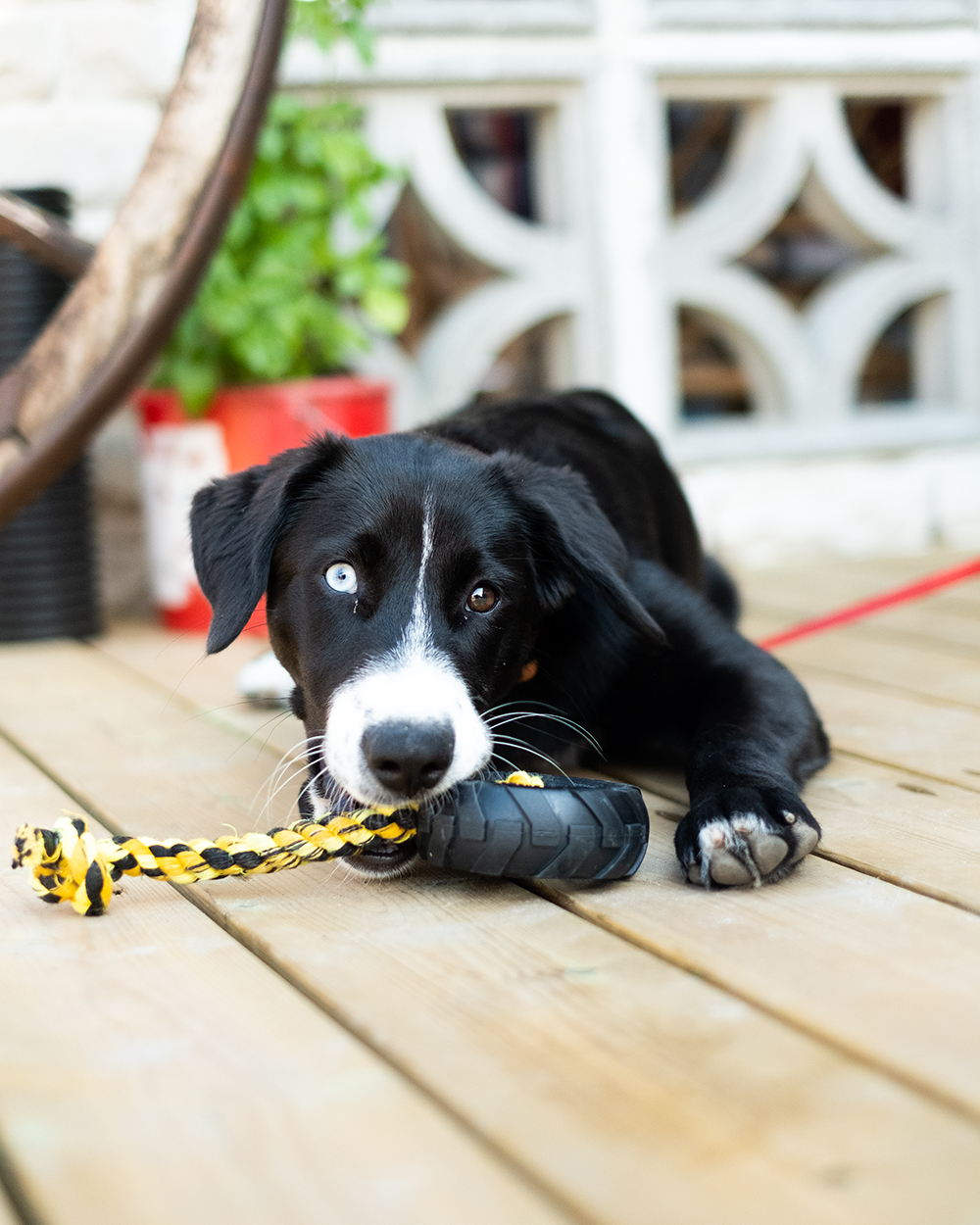 Hund leker med leksak